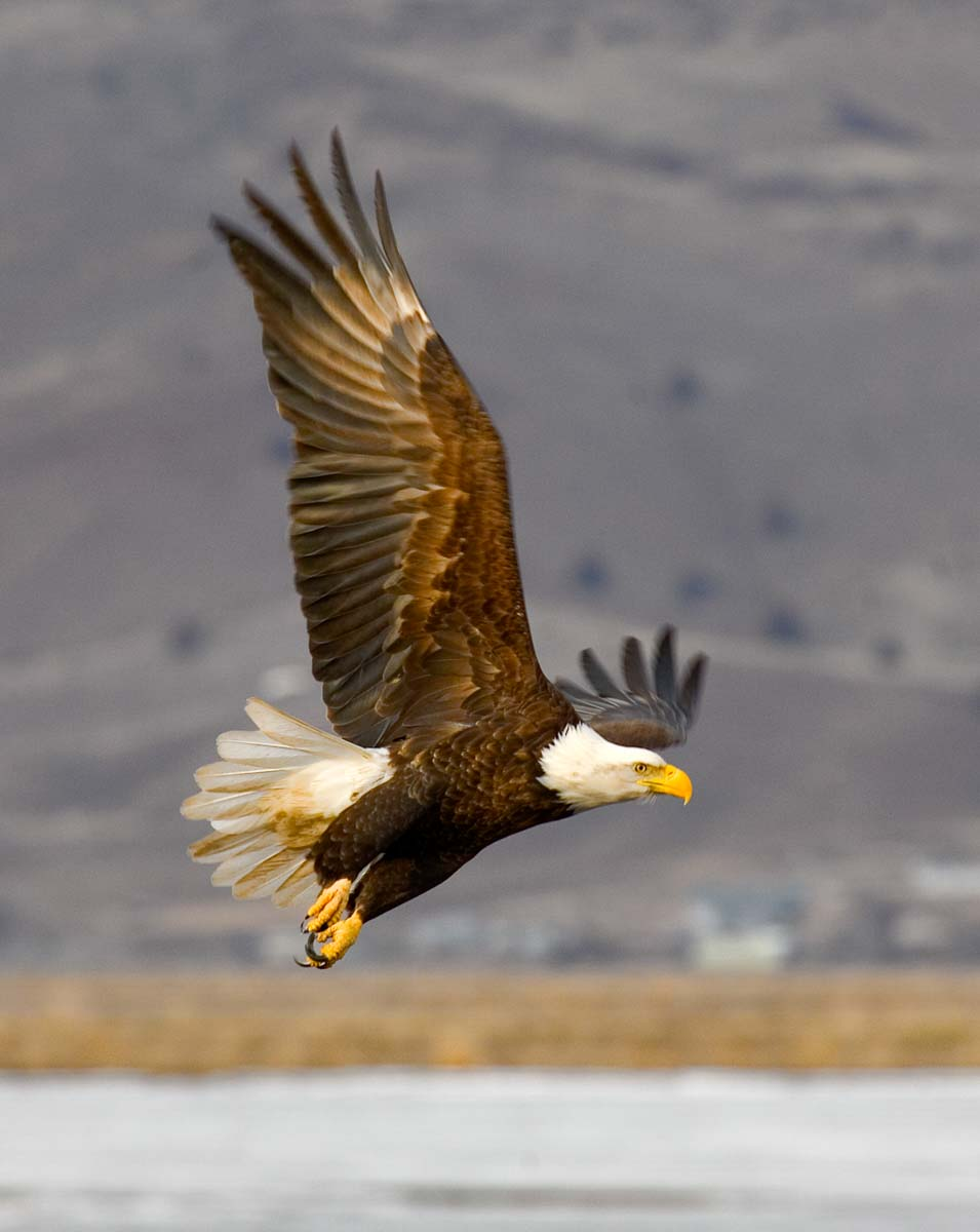 2- Best Bald Eagle wings up.jpg
