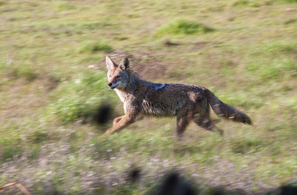 8-coyote 4558.jpg