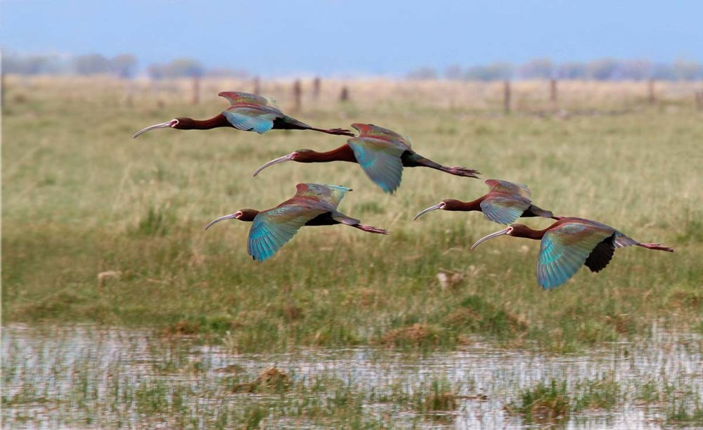 11- Ibis flock flying_MG_2208.jpg
