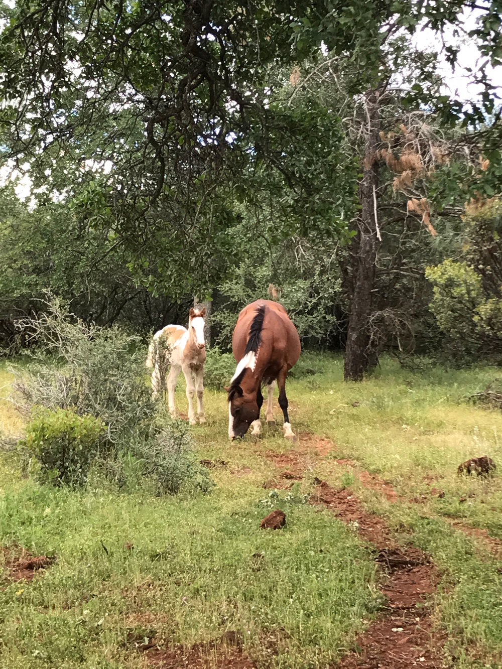 A mustang mare and her foal.  The foal thought we were super interesting..approaching and retreating over and over while we were near.  The mustangs at the Sanctuary are familiar with humans - they are fed when resources are low - but many don't ever make contact with people.  They are left largely to their own devices.