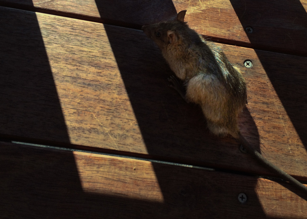 Smart street rat, hiding from the blaring sun in the shade; even if it did ruin my photo.