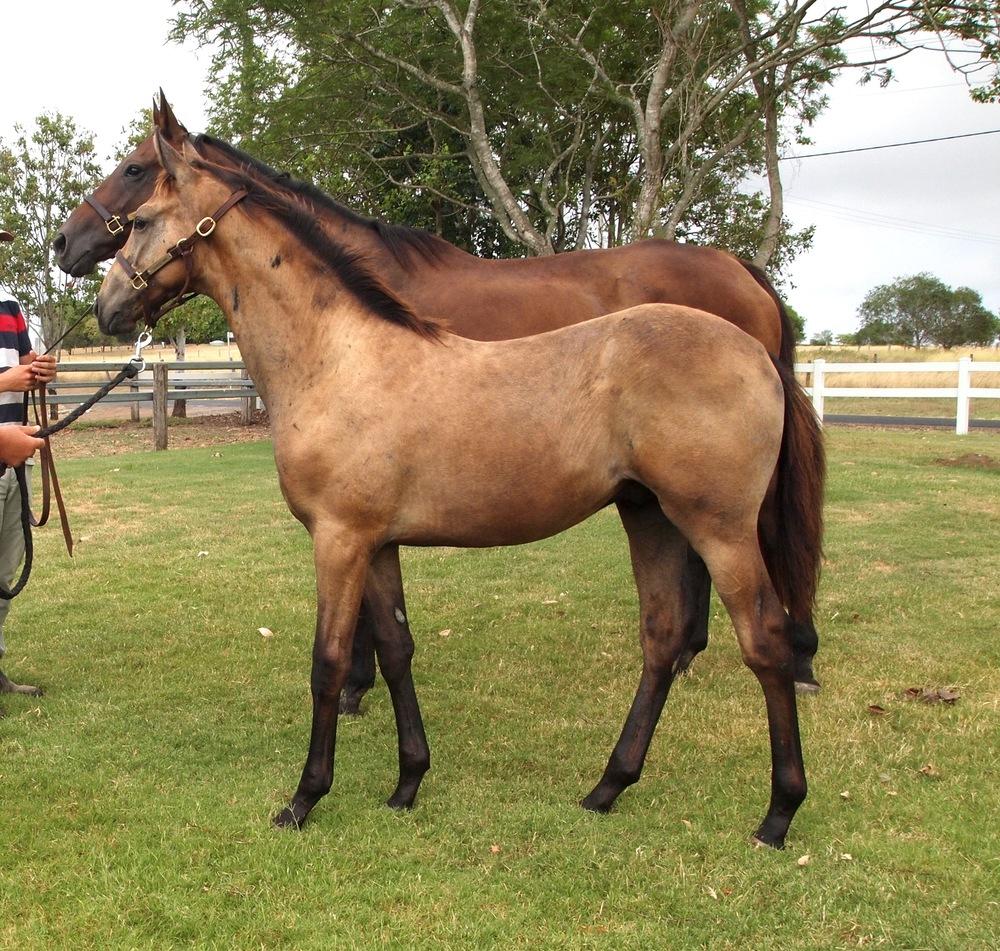 Top Echelon – MONASHEE PRINCESS weanling colt.