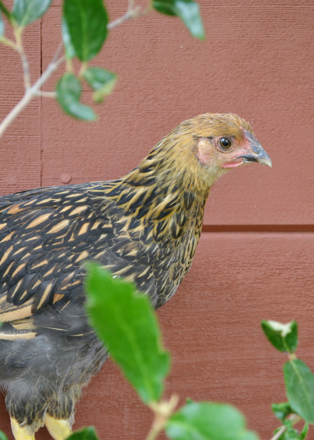 My Chickens and I need Therapy | Boxwood Avenue