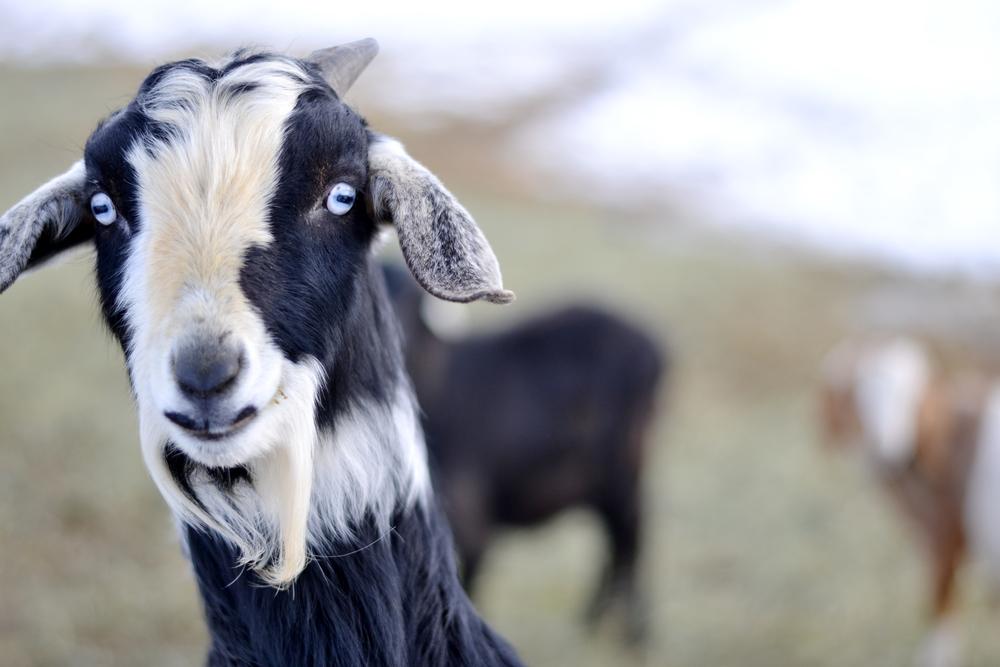 Funny Goat [Boxwood Avenue]