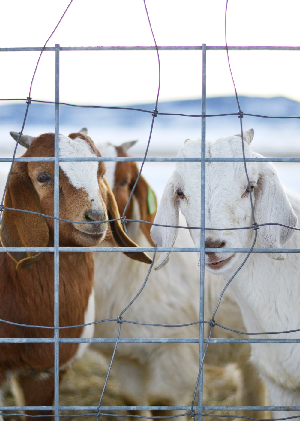 Baby Goats | Boxwood Avenue