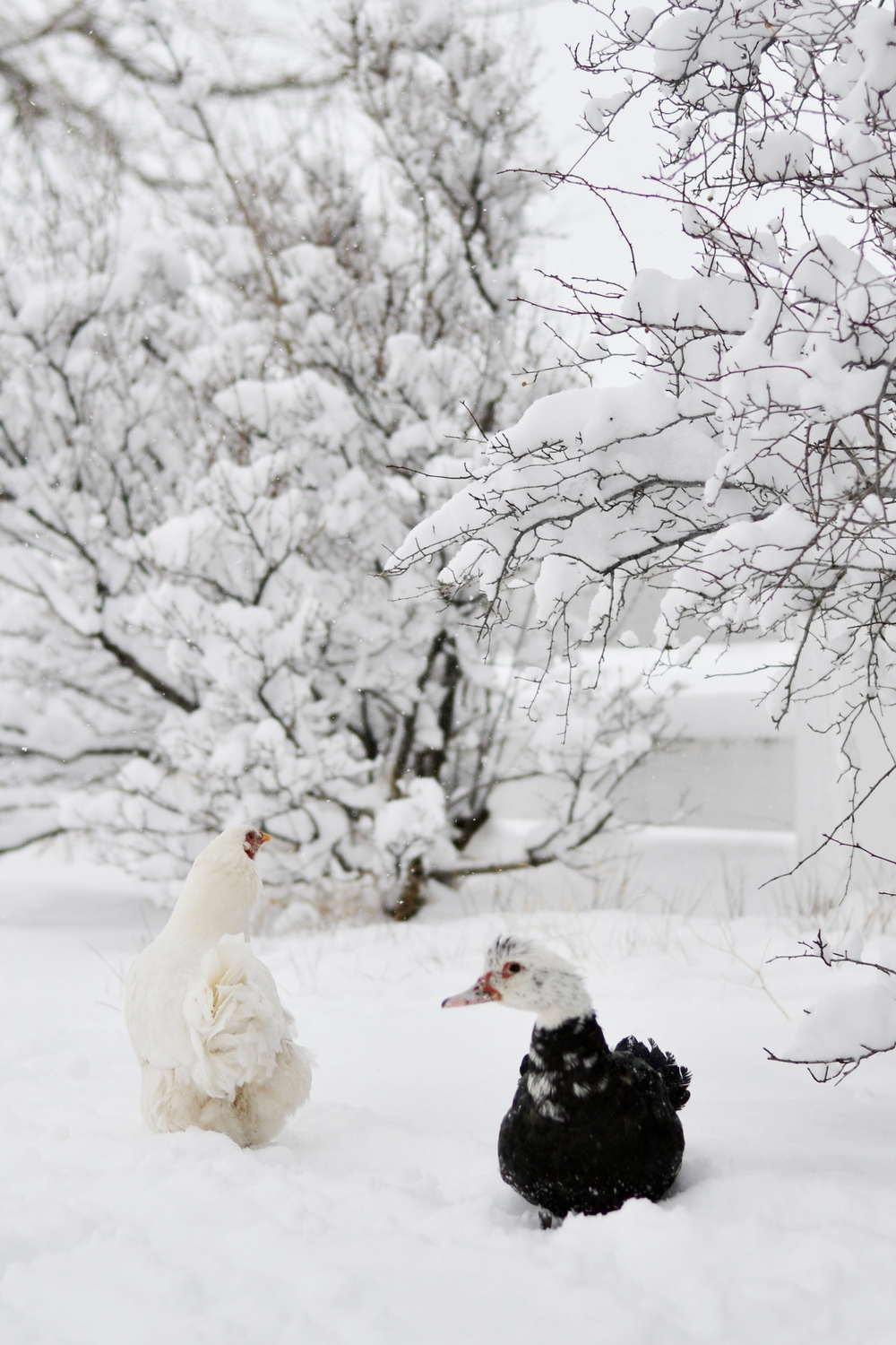 Snowy day on the farm with our chicken & duck
