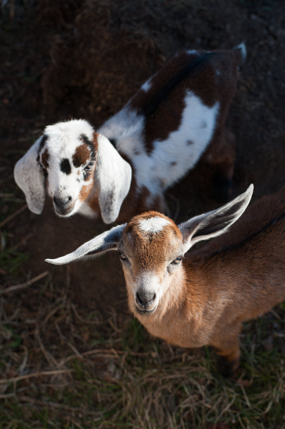 Baby goats, Mini Nubians - so cute! boxwoodavenue.com | Carrie Richards Photography