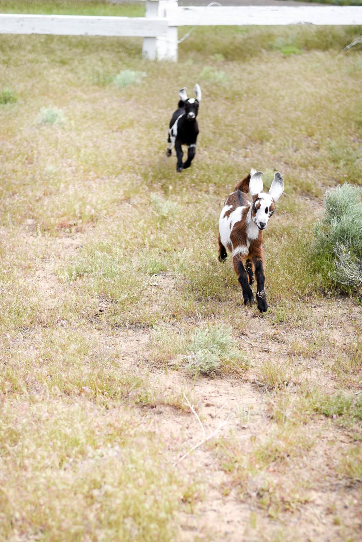 Baby Nubian goats | boxwoodavenue.com