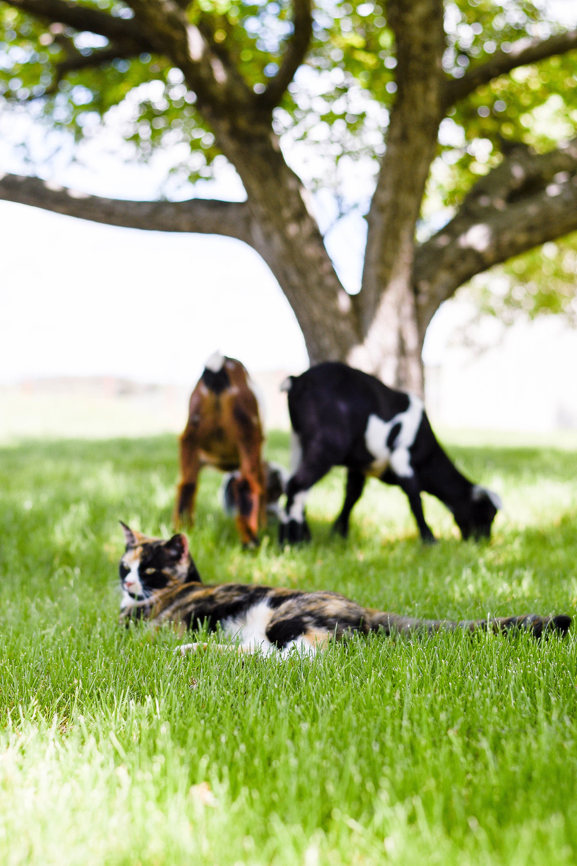 Baby Nubian goats & calico kitten | boxwoodavenue.com