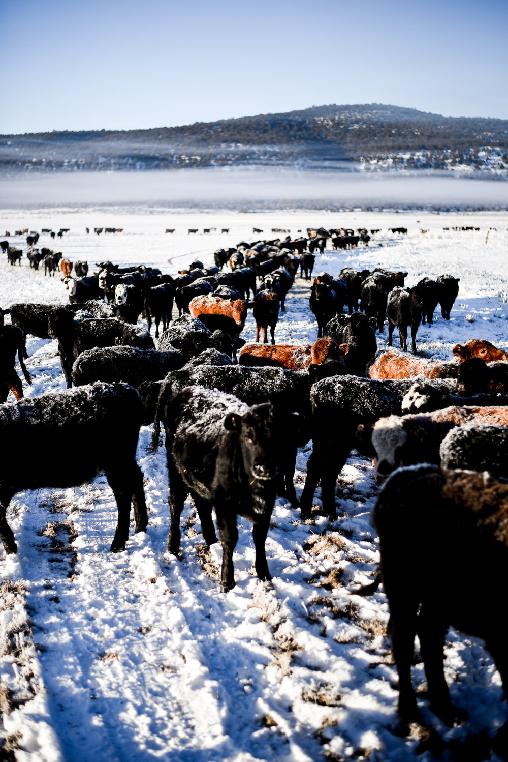 Frosty cattle in Jess Valley, Ca | boxwoodavenue.com
