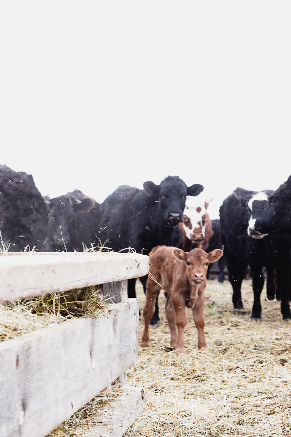 Newborn calf in heifer field | boxwoodavenue.com