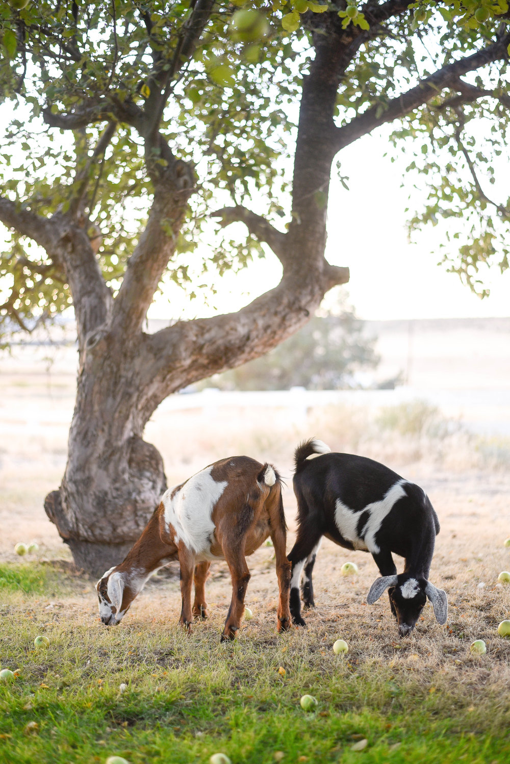 Copper toxicity in goats | boxwoodavenue.com