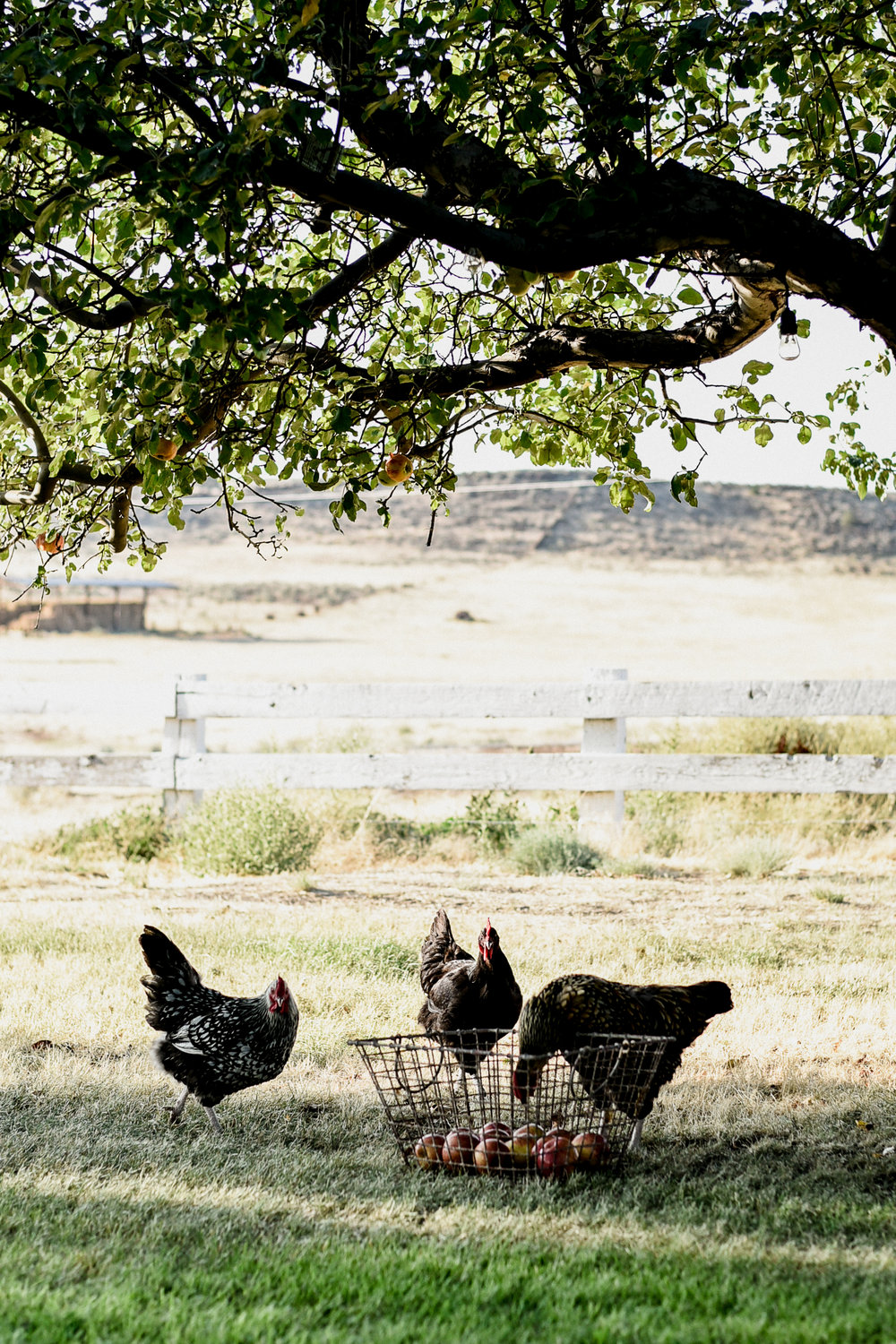 Boxwood Avenue apple harvest with goats & chickens | boxwoodavenue.com