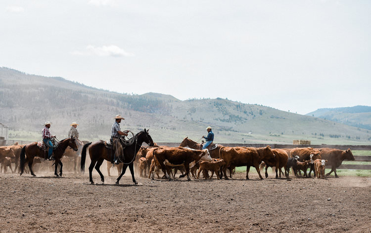Cattle ranch branding in Northern California working ranch | boxwoodavenue.com