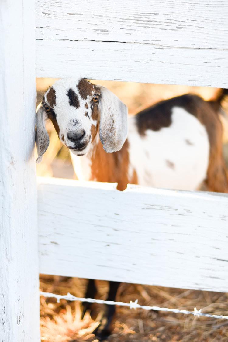 Miniature nubian goat - boxwoodavenue.com