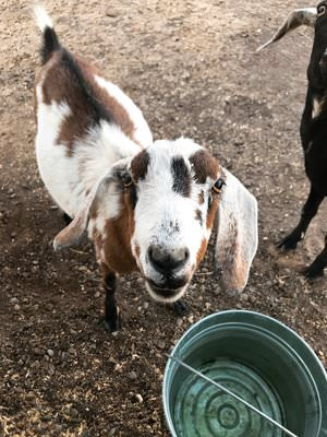 mini nubian goat - boxwoodavenue.com