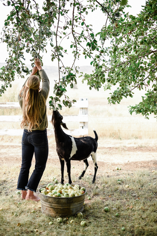 Farmhouse apple picking with goat | boxwoodavenue.com