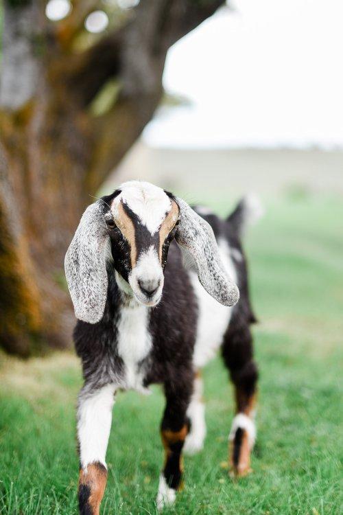 spring+goats-3.jpg