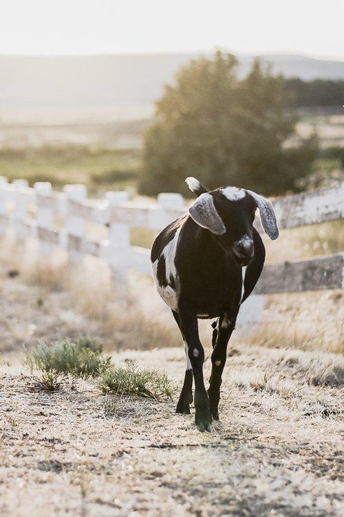 goats-10.jpg