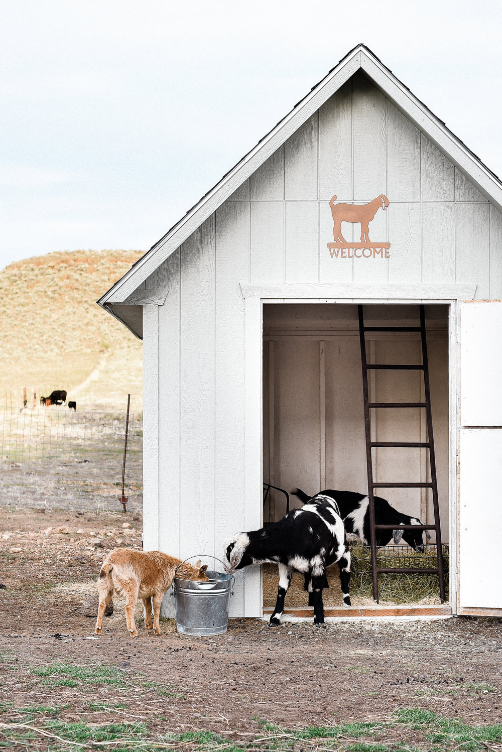 spring-8.JPGRaising Goats - keeping the barn clean | boxwoodavenue.com