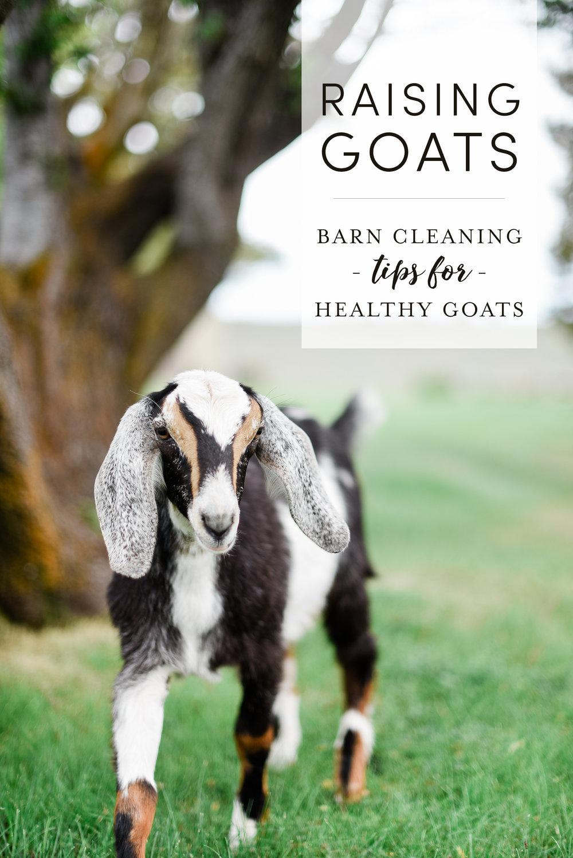 Raising Goats - keeping the barn clean | boxwoodavenue.com