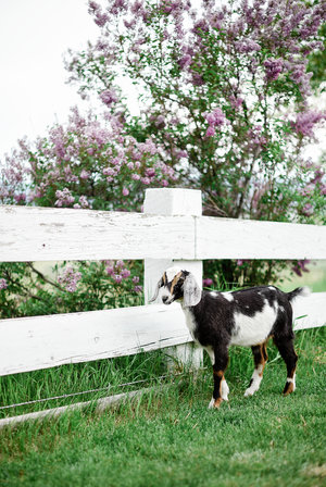 Caring for Goats: 15 Things I Wish I Knew Before Getting Goats