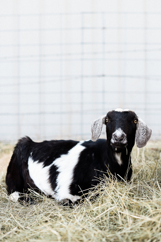 Caring for farm animals on vacation | #raisinggoats