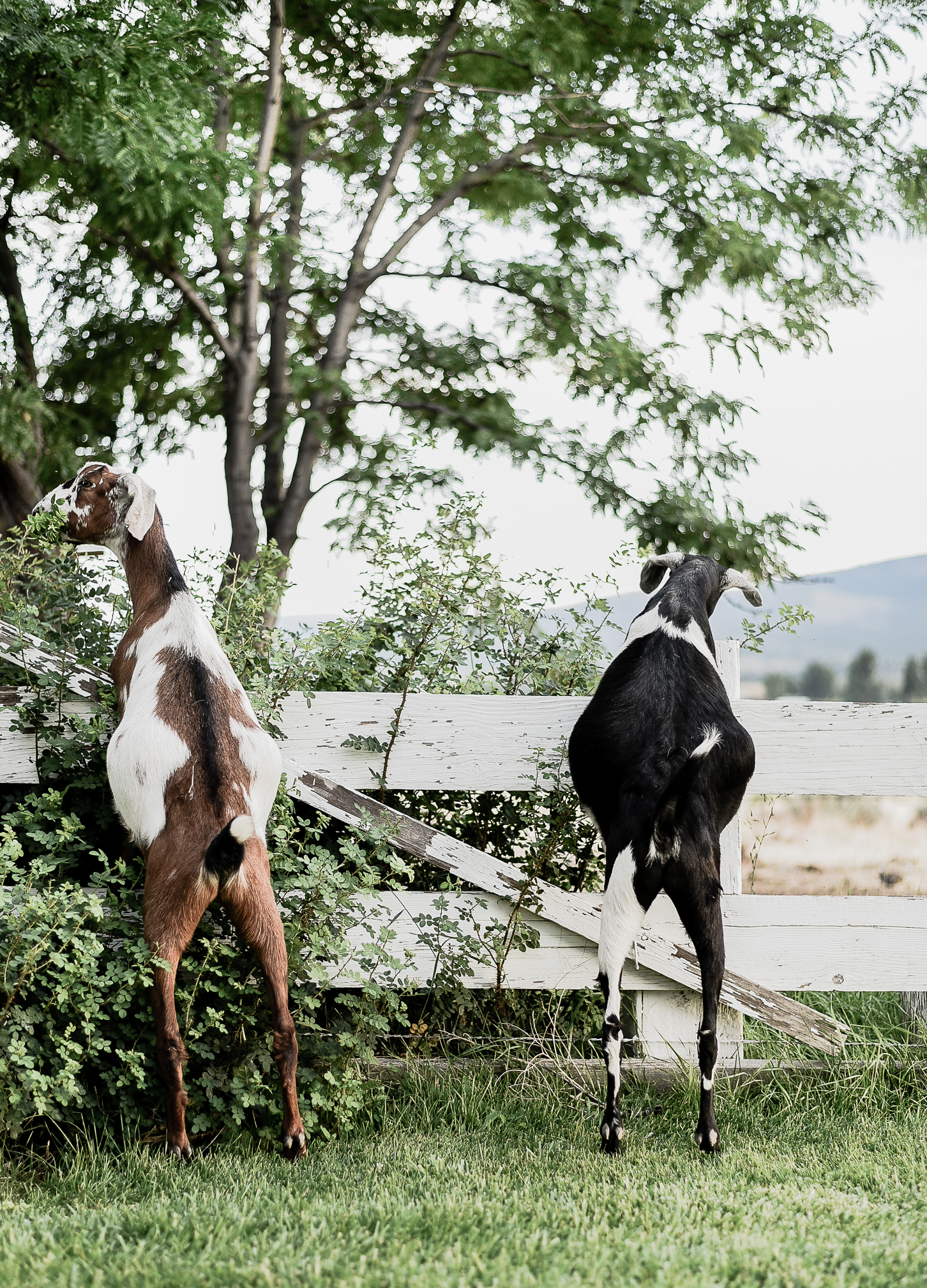 Caring for Goats: 15 Things I Wish I Knew Before Getting