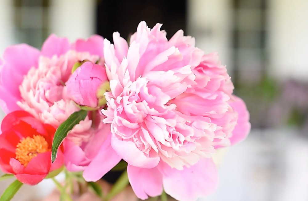 How to get your peonies to bloom, and enjoy them for months! boxwoodavenue.com #gardening #peonies #peony