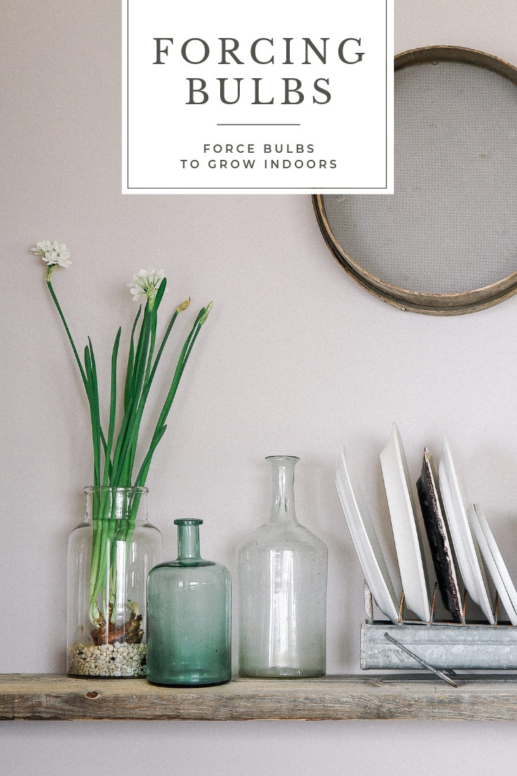 Forcing bulbs is so easy! Grow your bulbs indoors by forcing them with just a few simple supplies. #forcingbulbs #indoorbulbs #springdecor