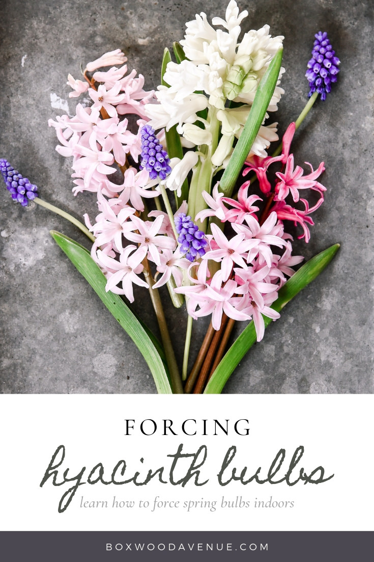 Learn how to force Hyacinth indoors - forcing bulbs is easy! Learn how to force all types of spring bulbs! #springbulbs #springflowers #forcingbulbs
