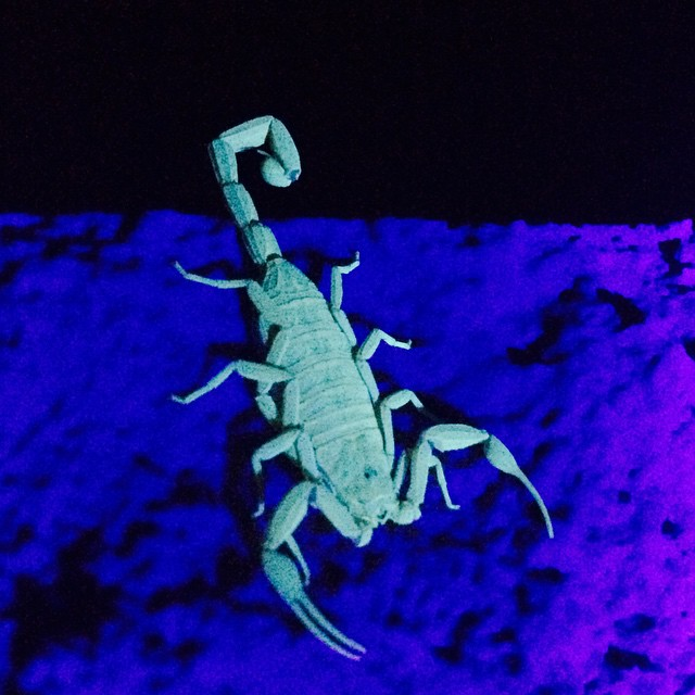 No comment #WTF #scorpion #summer #blacklight #littlebuddy #3inchpain #publicpark