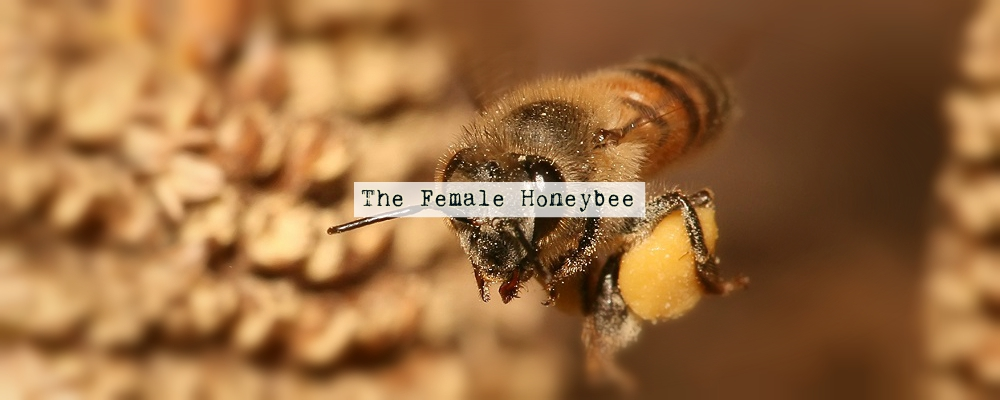 The Female Honeybee
