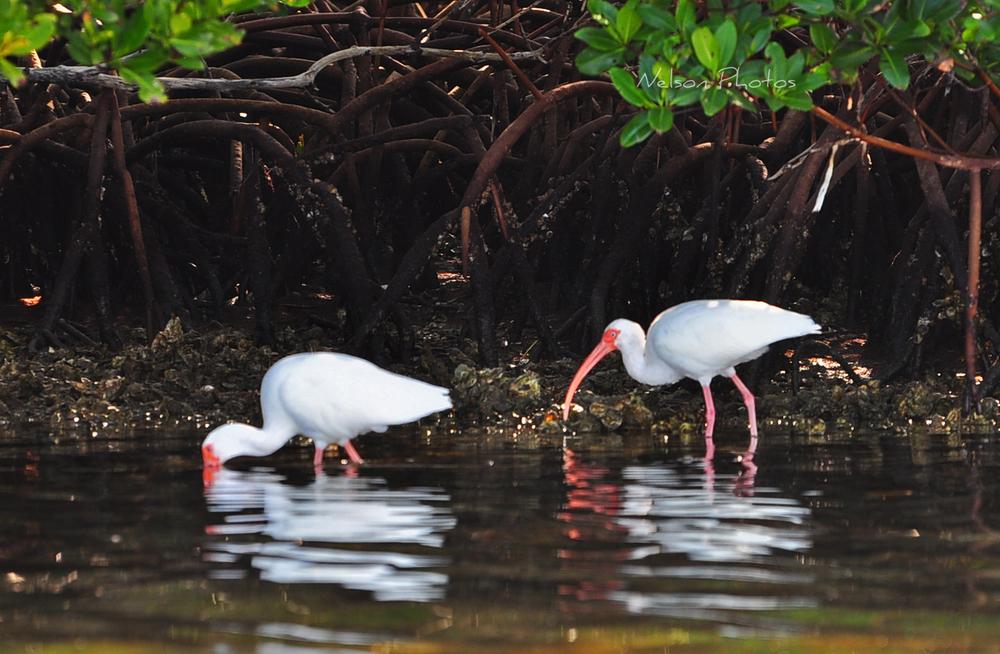 ibis 2.jpg