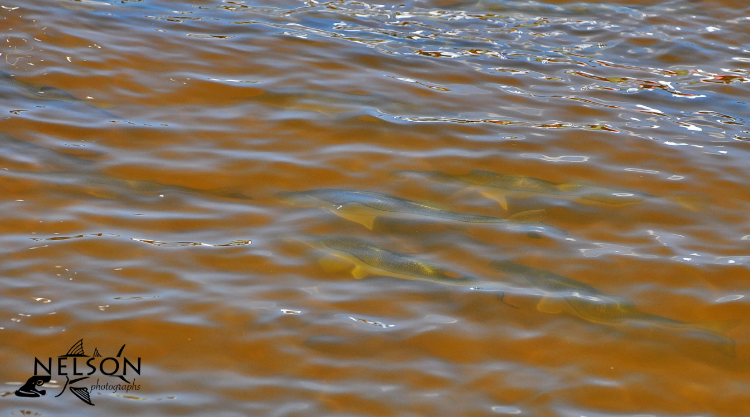 Southwest Florida Snook begin to spawn during the full moon in May