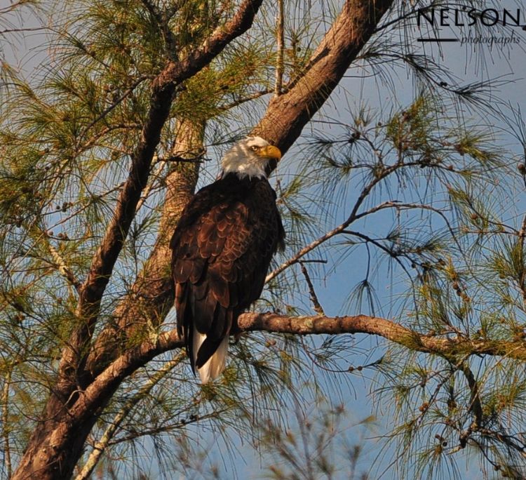 A Bald Eagle enjyoing its morning Atop a Pine Tree in Southwest Florida