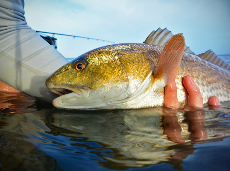 Release shot of a vibrant Mosquito Lagoon Redfish