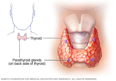 Unfortunately, the parathyroid is not naturally bright purple like this image depicts.