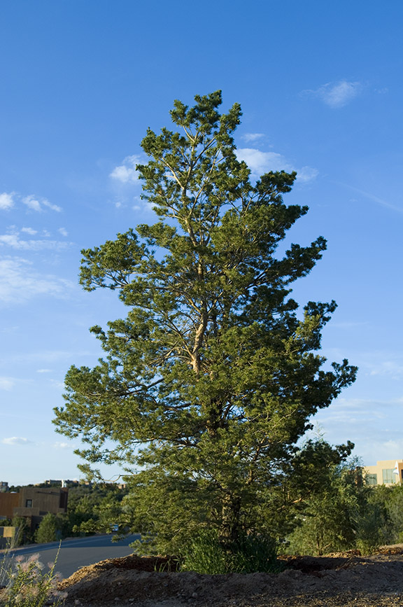 Large evergreen pine tree