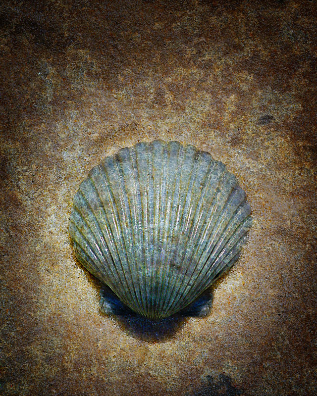 Sea Shell #1