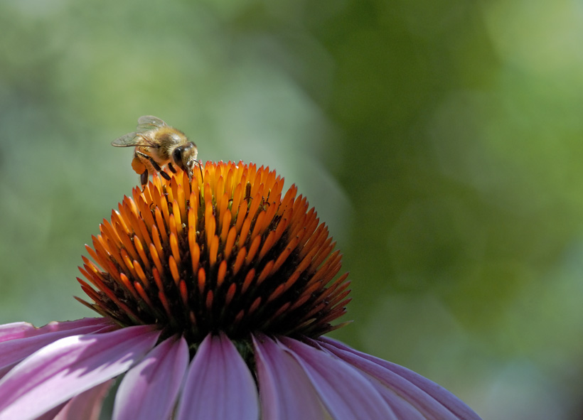 060700_6DSC0057bee-on-conef.jpg