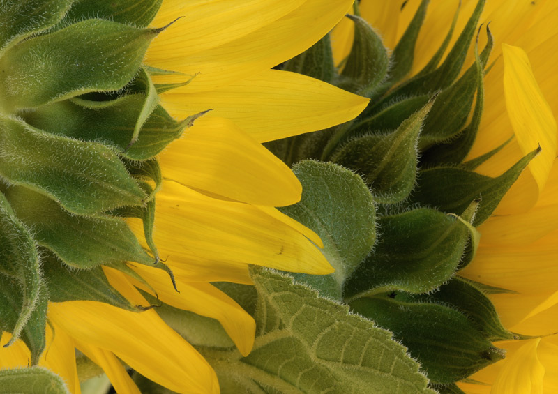 060700_8DSC0018sunflower2.jpg