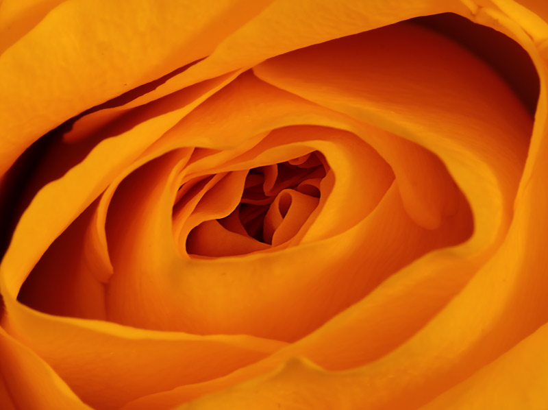 061112_DSC0033-Yellow-rose.jpg