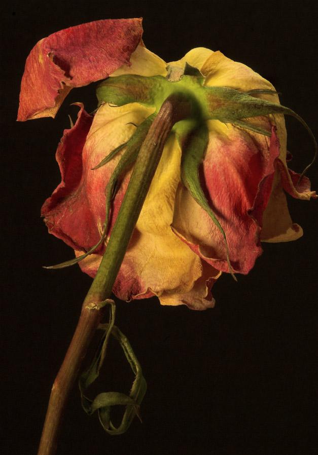 071020_DSC0064-Old-Rose.jpg