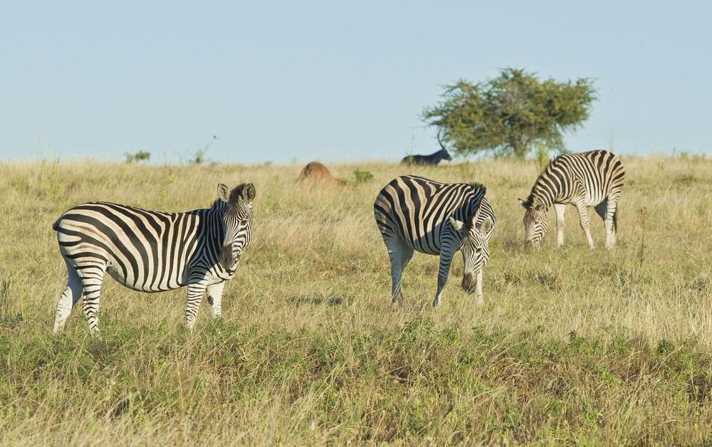 130420_DSC2972 Zebras.jpg