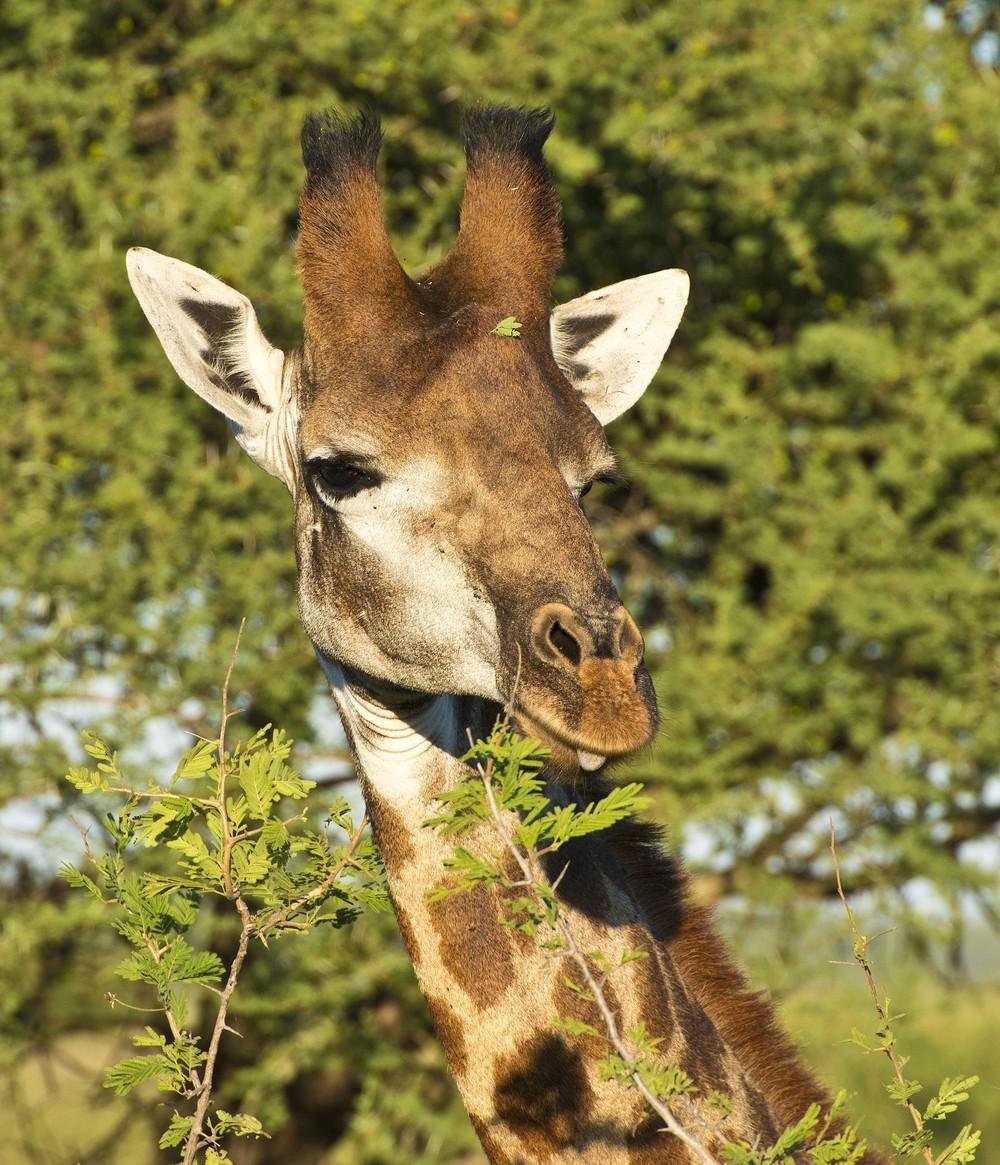 130420_DSC2982 Giraffe.jpg