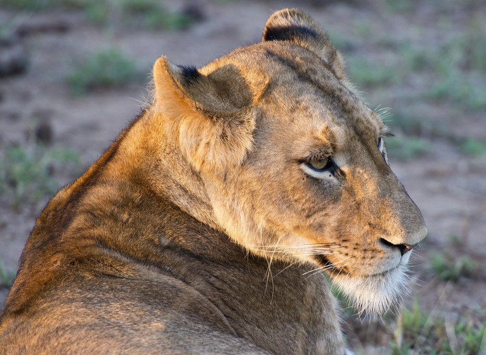 130420_DSC3044 Lioness at sunset.jpg