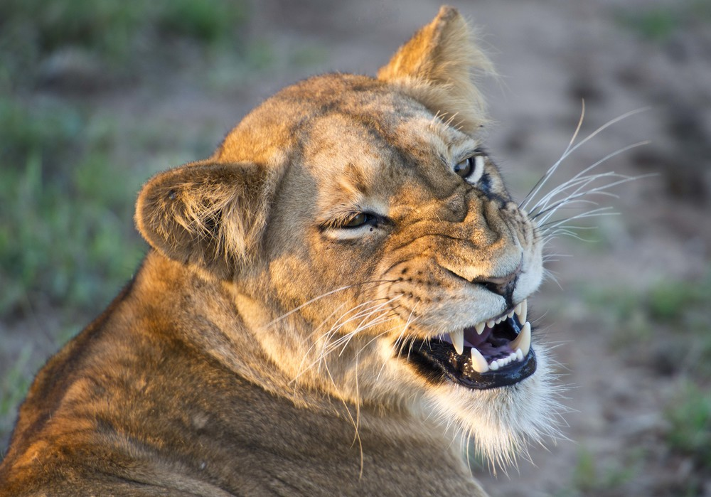 130420_DSC3067 Growling Lioness at sunset_1.jpg