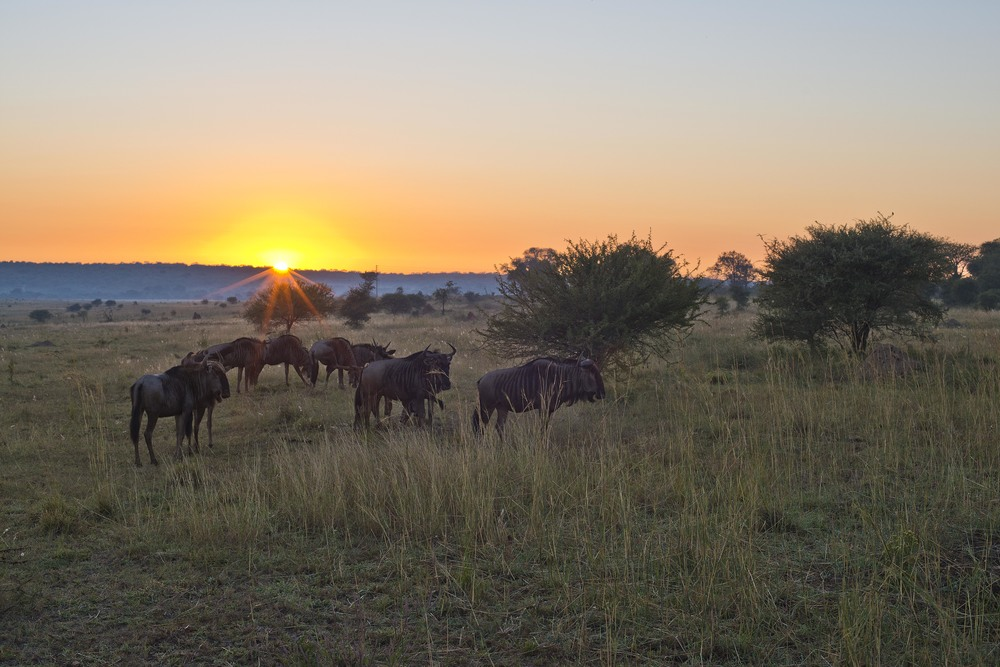 130420_DSC3514 Wildebeest on the Bushveld at Sunrise.jpg