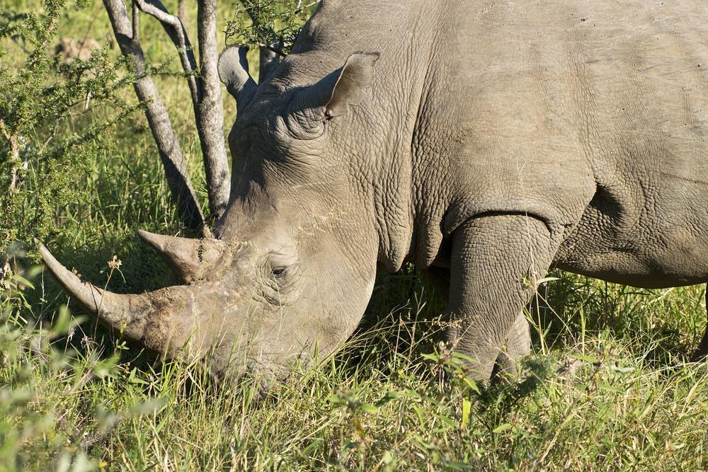 130420_DSC3645 Rhino.jpg